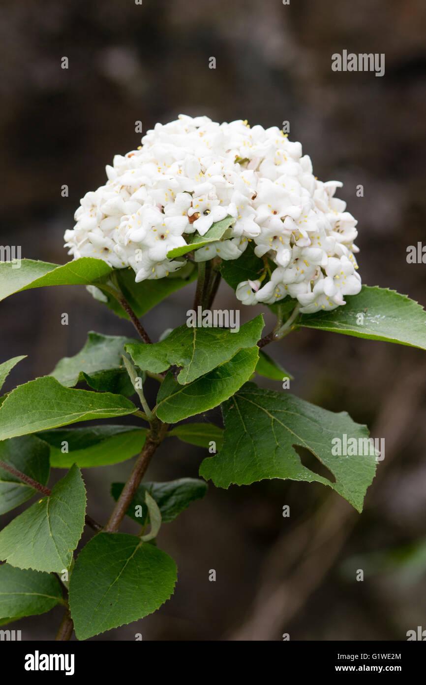 Globular flower head of the fragrant, deciduous snowball shrub, Viburnum x carlcephalum - Stock Image
