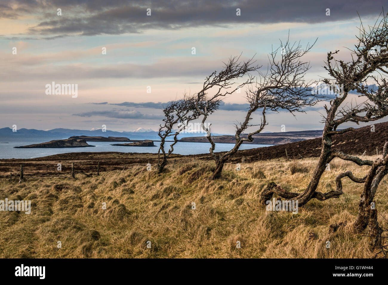 gnarly hawthorns as  hedge relic at coral bay / beach dunvegan - Stock Image