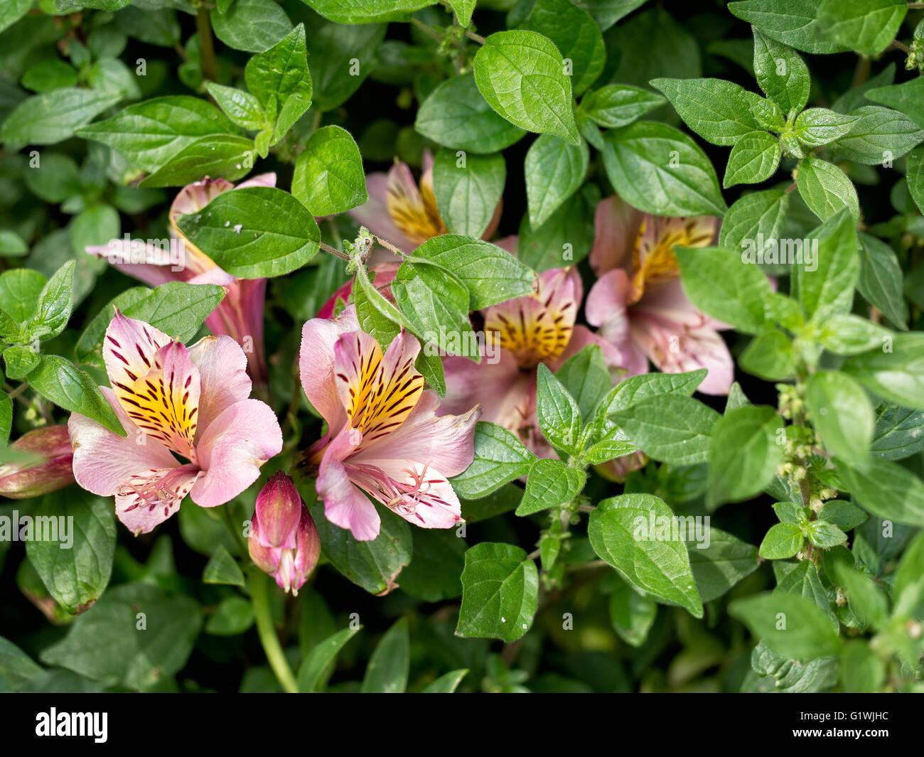 Beautiful survivor in abandoned garden. Alstroemeria amongst weeds - Parietaria officinalis aka pellitory. - Stock Image