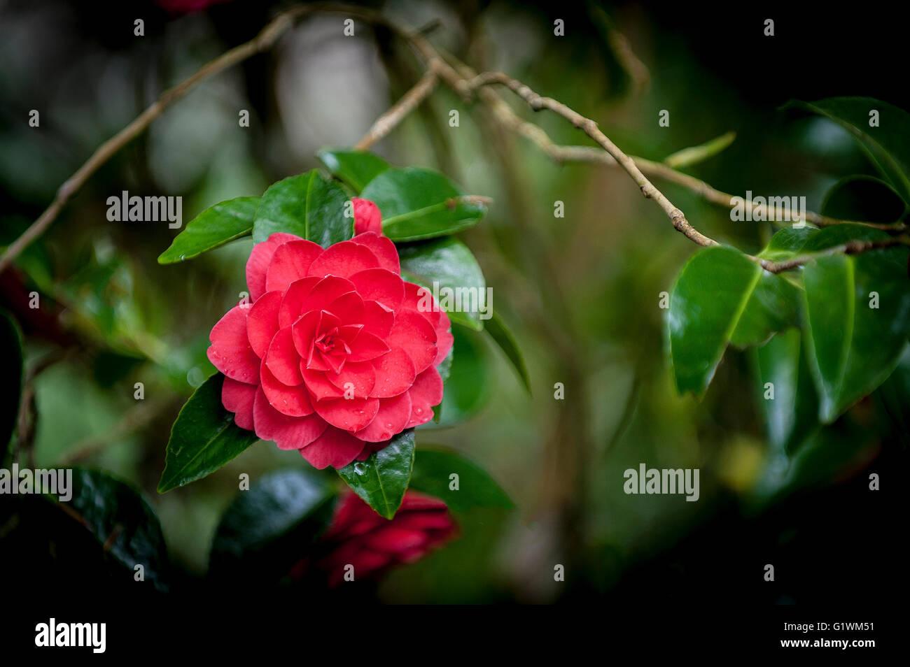 Camellia japonica; Mathotiana Alba. - Stock Image
