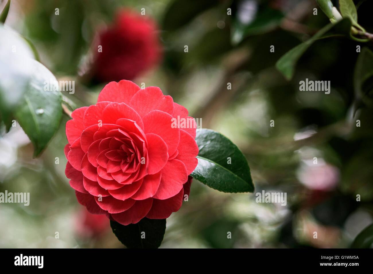 Camellia Japonica. Imbricata rubra. - Stock Image