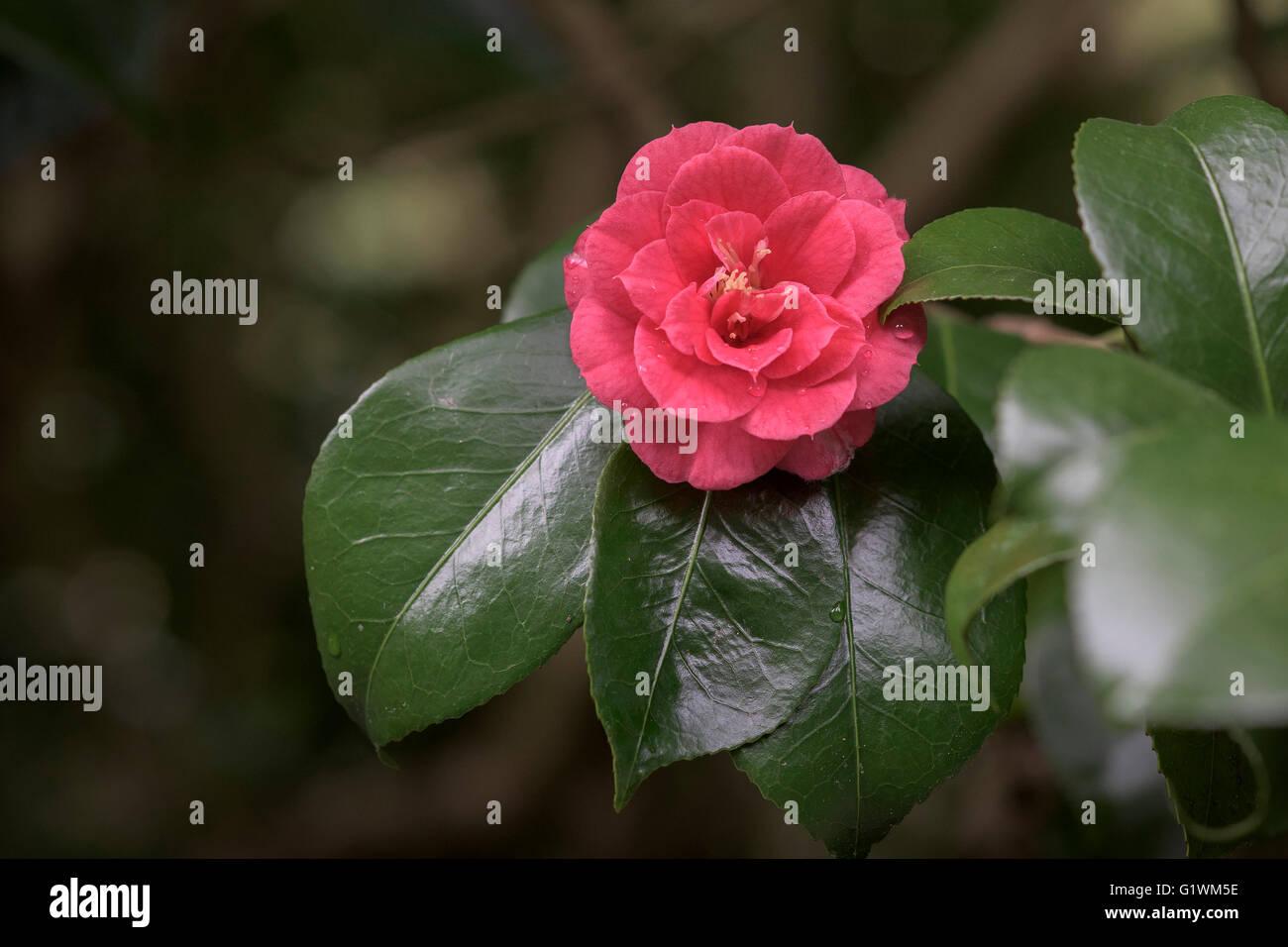 Camellia Japonica 'Apollo'. - Stock Image