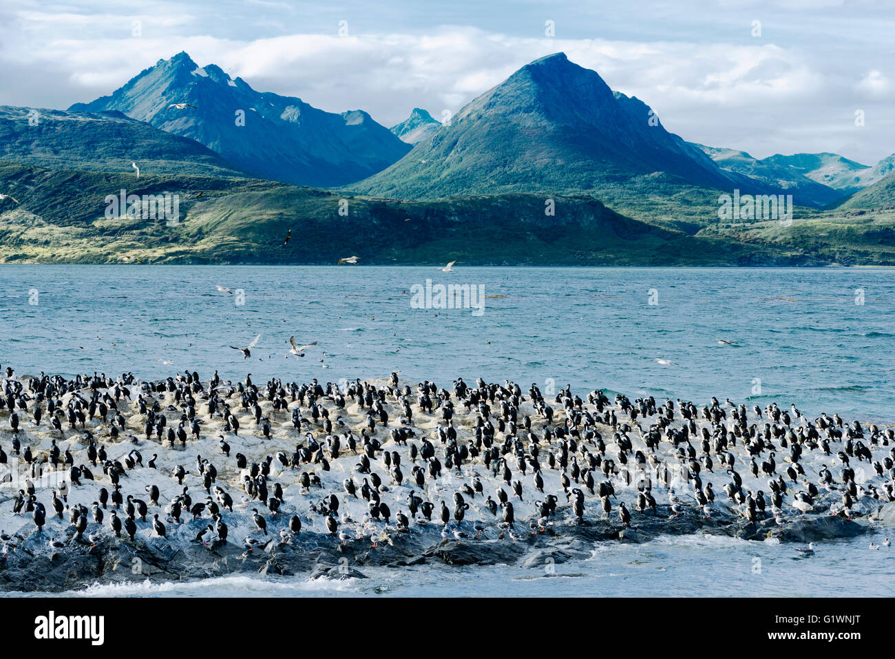 Colony of King Cormorants On Ilha Dos Passaros Located on the Beagle Channel, Tierra Del Fuego, Argentina - Stock Image