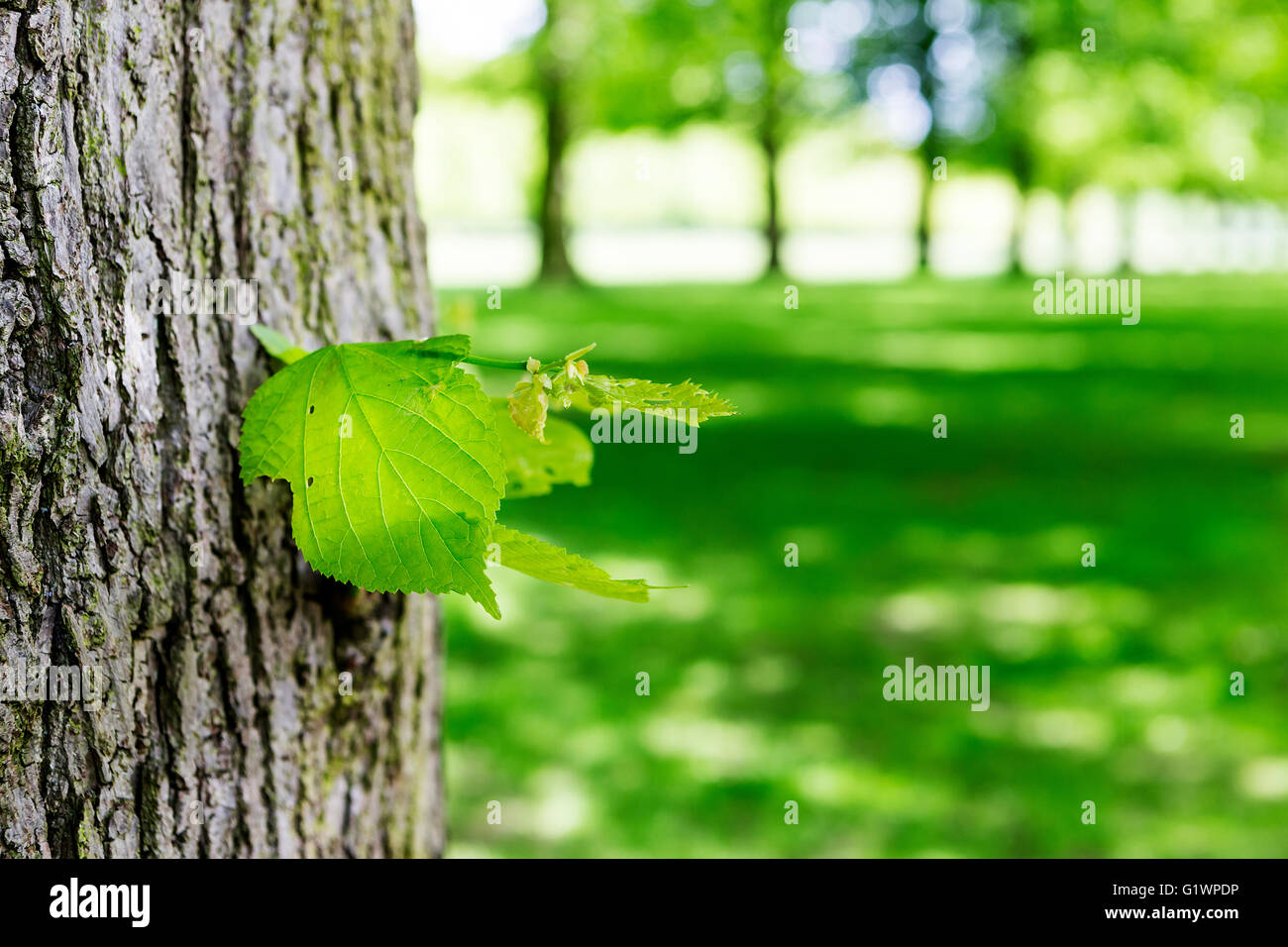 Close up of a leaf on the trunk of a tree in an avenue of lime trees at Marbury country park, Comberbach, Northwich, Stock Photo