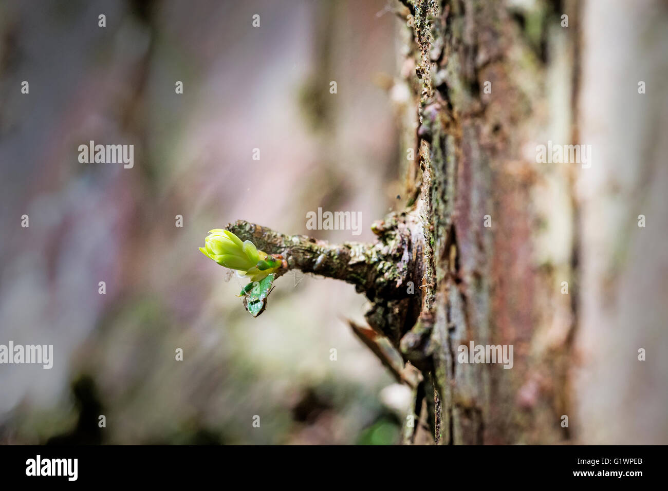 New shoot springs from the trunk of a fir tree in Marbury Park, Comberbach, Northwich, Cheshire, England Stock Photo