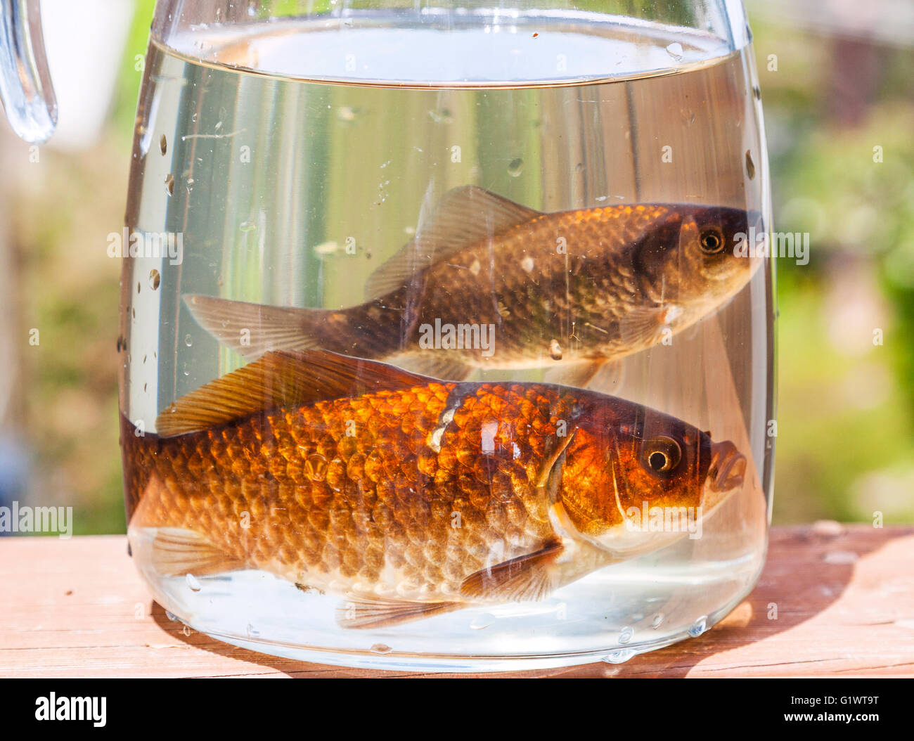 goldfish in a jar - Stock Image
