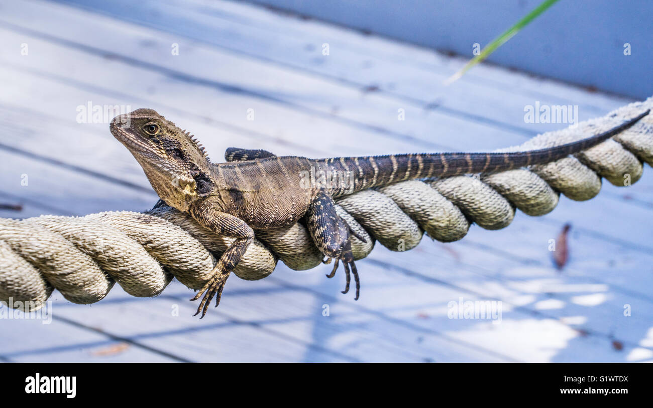 female Eastern Water Dragon, Physignatus lesueurii lesueurii, perching on a rope - Stock Image
