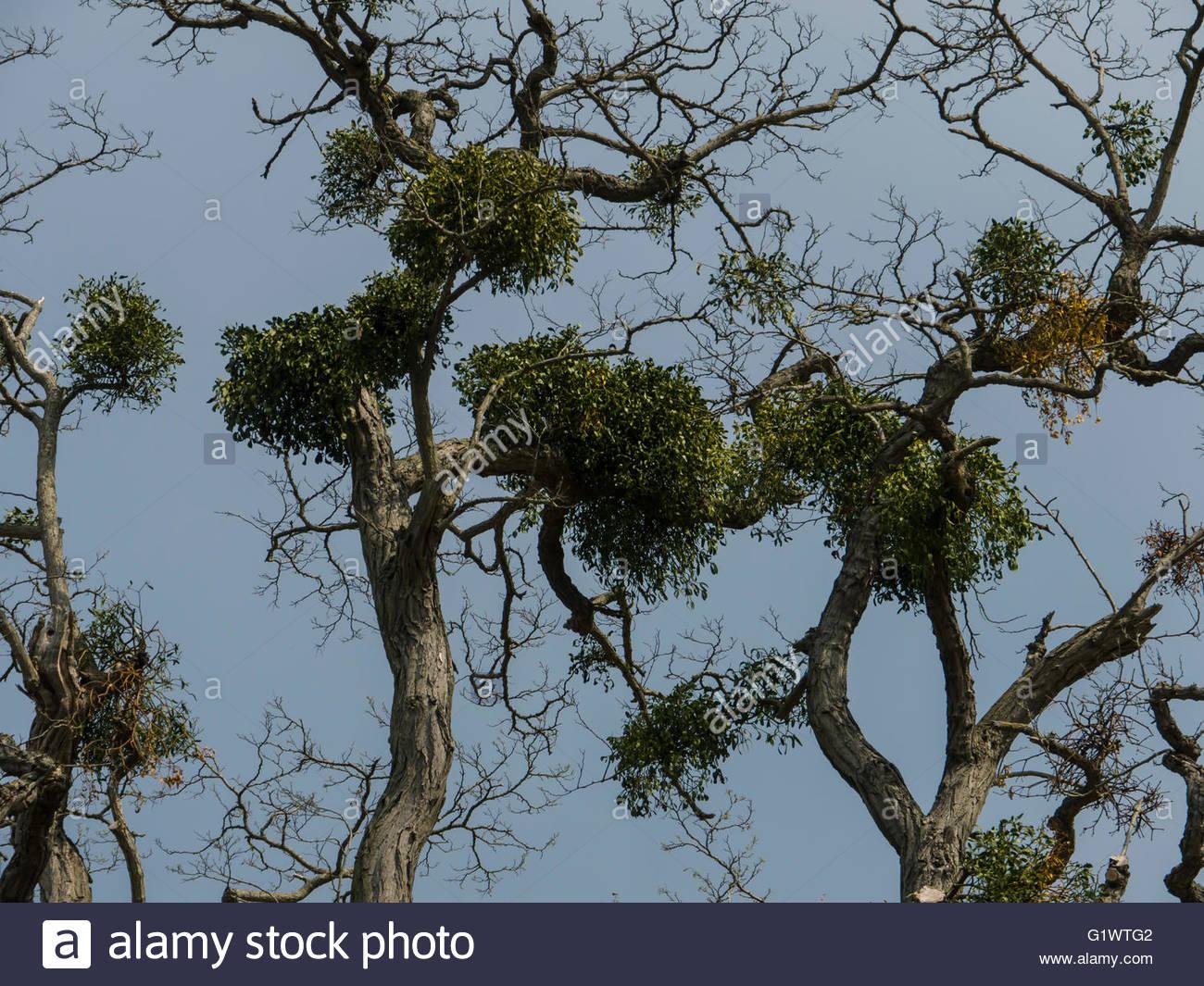 England UK.Mistletoe (disambiguation) on host tree,Kissing,Christmas ,Celebration, - Stock Image