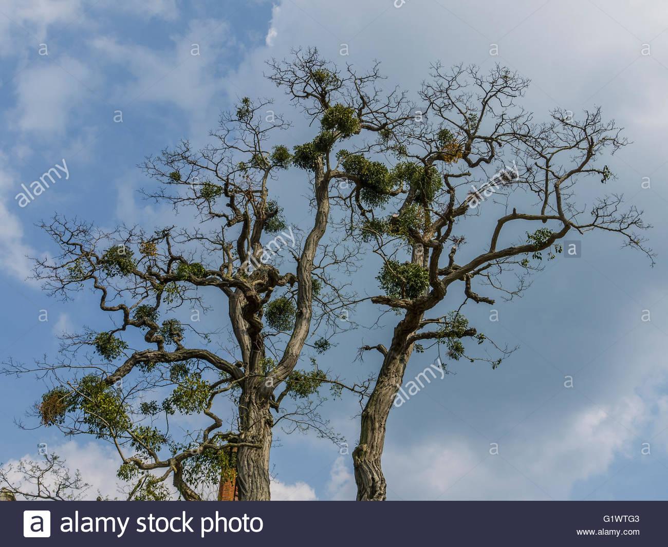 England UK.Mistletoe (disambiguation) on host tree - Stock Image