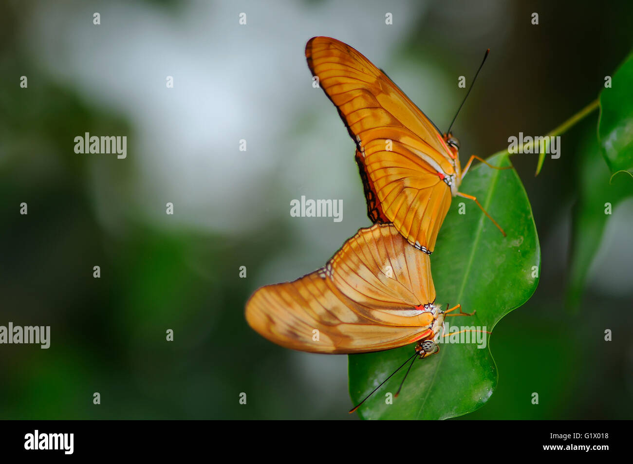Butterfly pairing on plant - Stock Image