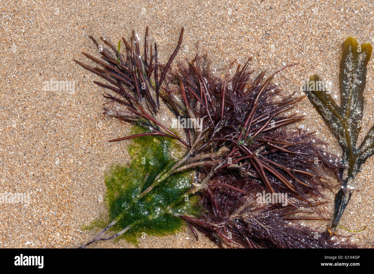 The red seaweed Furcellaria lumbricalis washed up on a beach with some other unidentified seaweeds - Stock Image