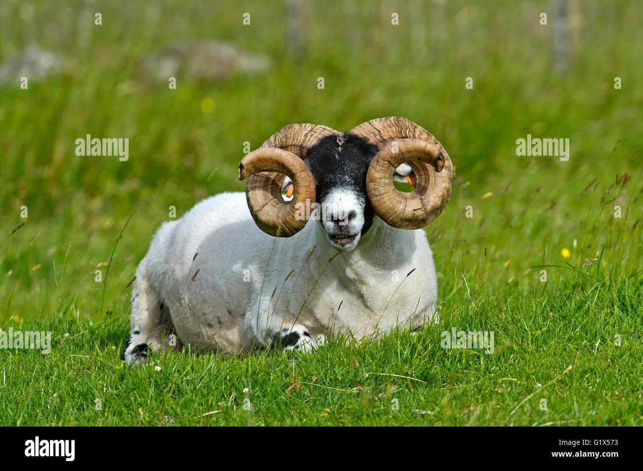 Scottish Blackface sheep, ram, Isle of Skye, Inner Hebrides, Scotland, United Kingdom - Stock Image