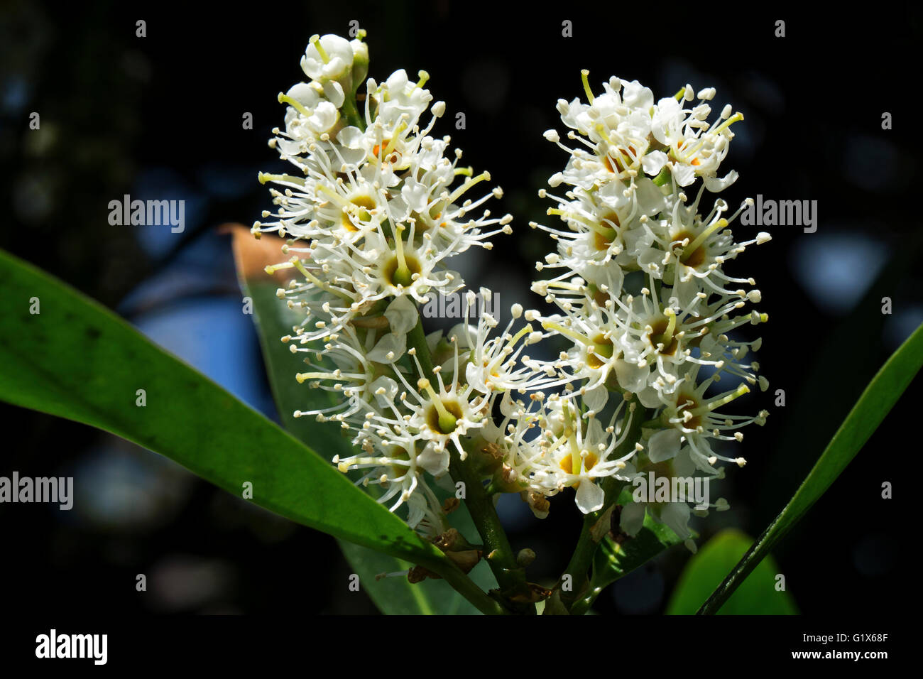 Flowers of cherry laurel (Prunus laurocerasus), also common laurel, Baden-Württemberg, Germany - Stock Image