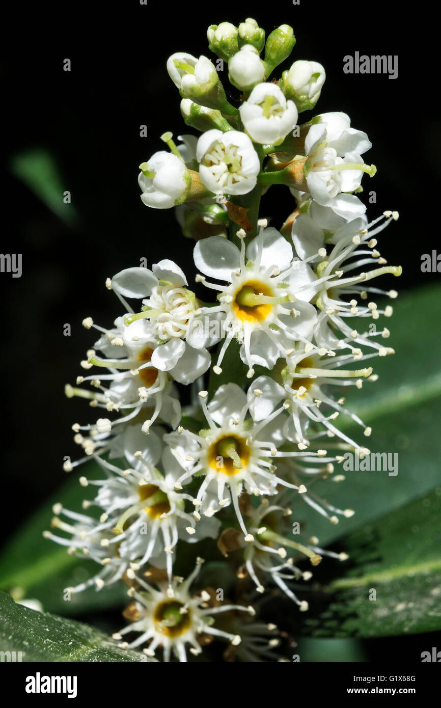 Flowering cherry laurel (Prunus laurocerasus), also common laurel, Baden-Württemberg, Germany - Stock Image