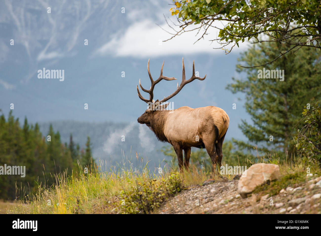 Wapiti, Elk (Cervus canadensis) looks into the distance, Deer, Banff National Park, Canadian Rockies, Alberta Province, - Stock Image
