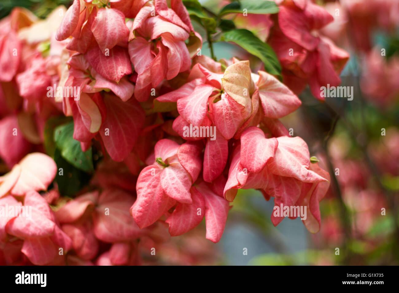 Mussaenda Philippica Doña Luz Flower - Stock Image