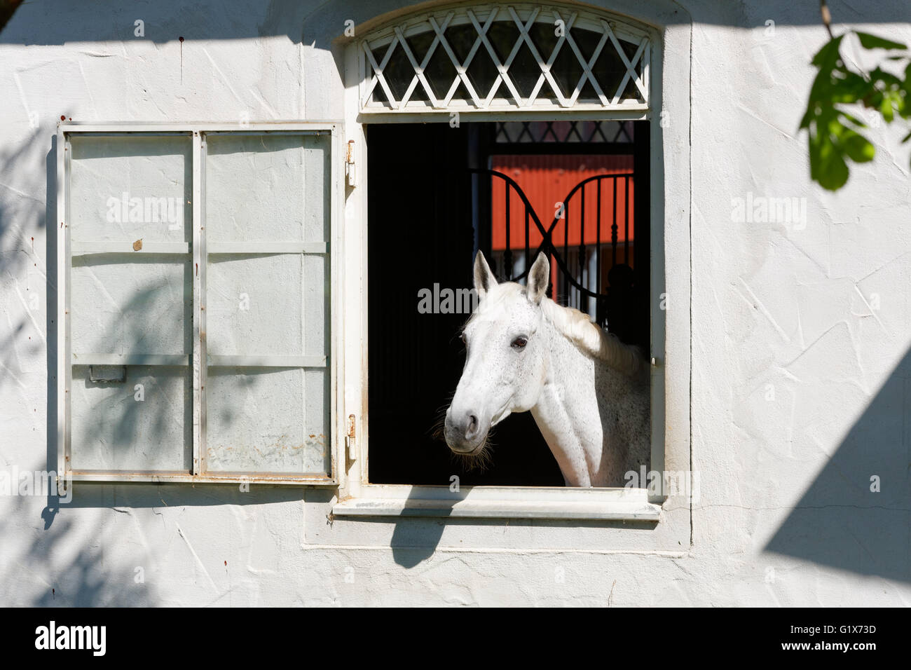 White horse looking out of window of stables, Bruggach in Bodolz at Lake Constance, Allgäu, Swabia, Bavaria, - Stock Image