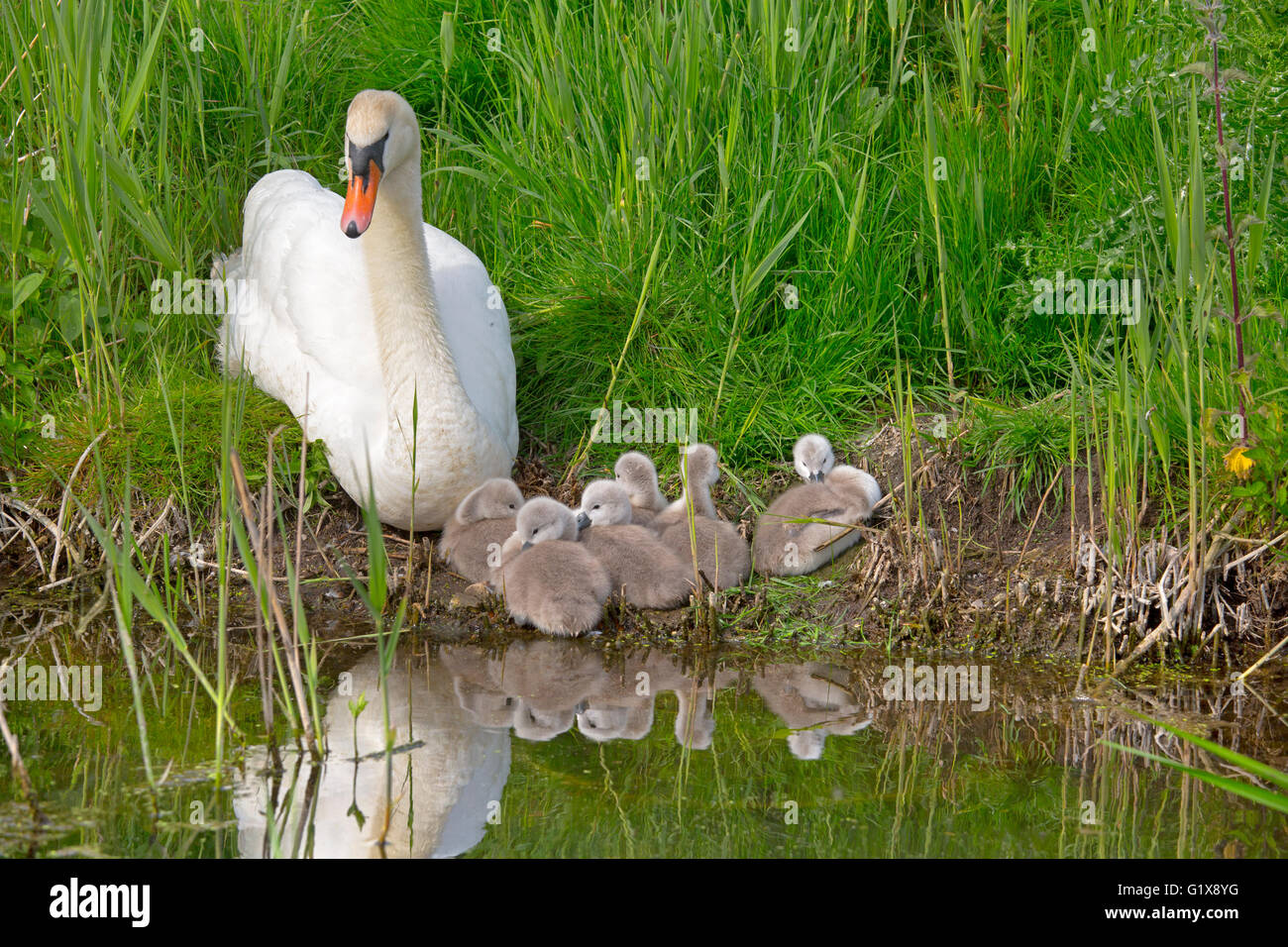 Mute Swan Cygnus olar  with newly hatched Cygnets resting on the river bank - Stock Image