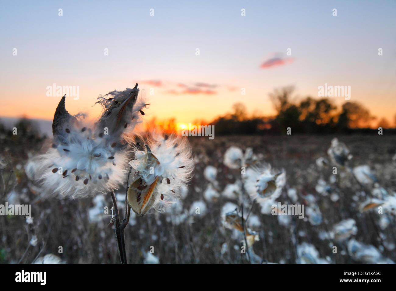 Fly seed flowers on a meadow at sunset - Stock Image