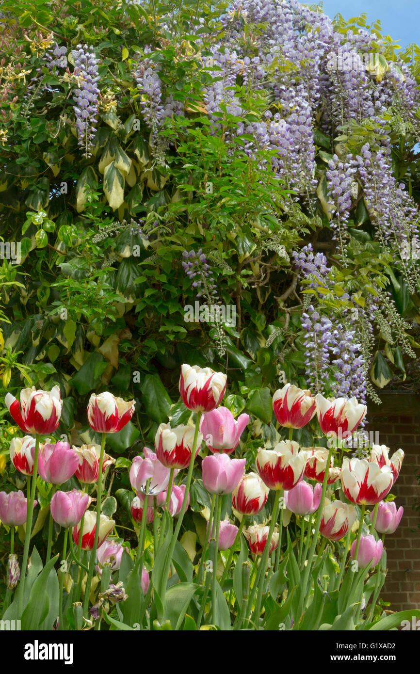 Wisteria floribunda growing around garden summer house with Tulips in container - Stock Image