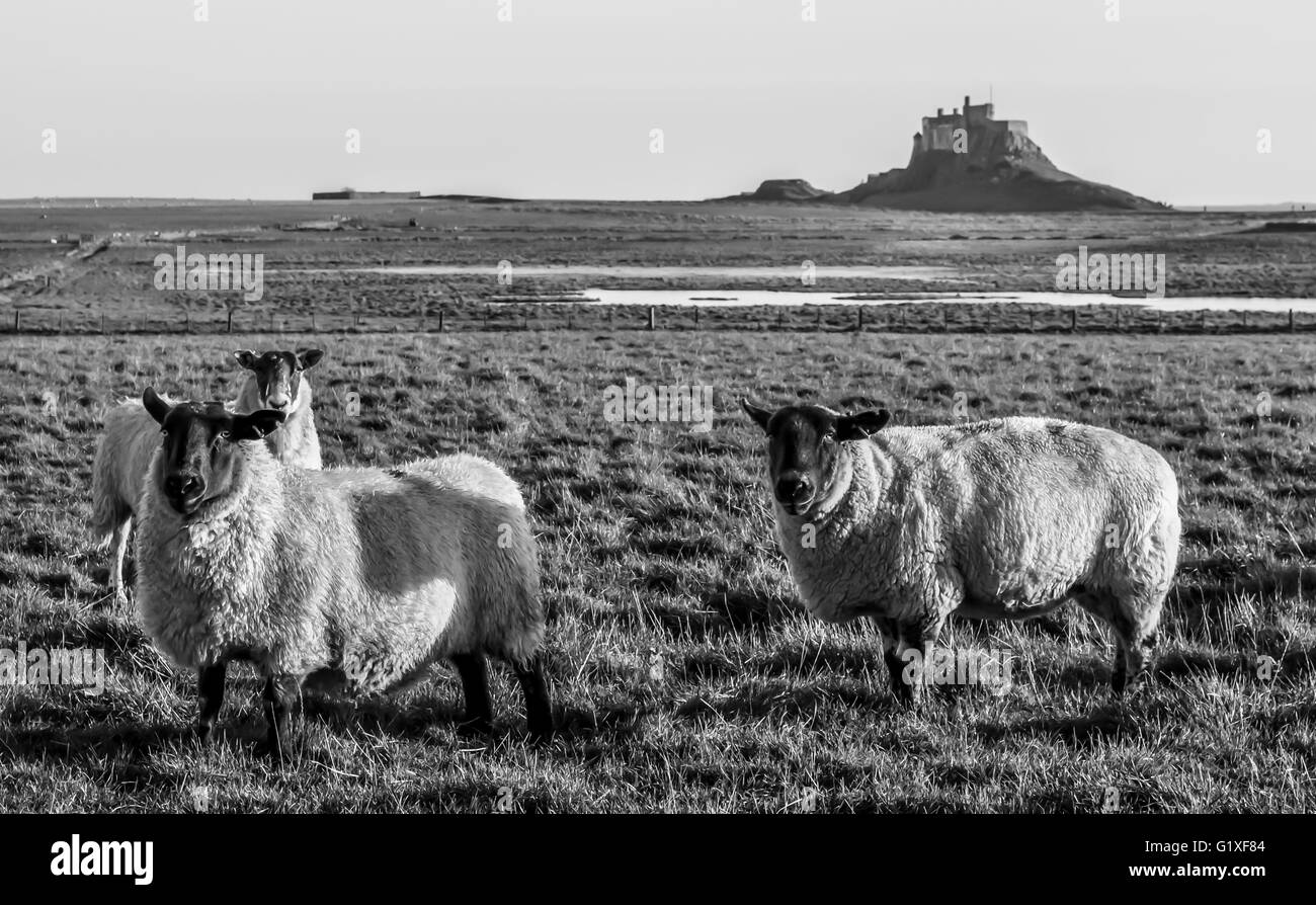 Black and White Sheep of Lindisfarne.............. - Stock Image