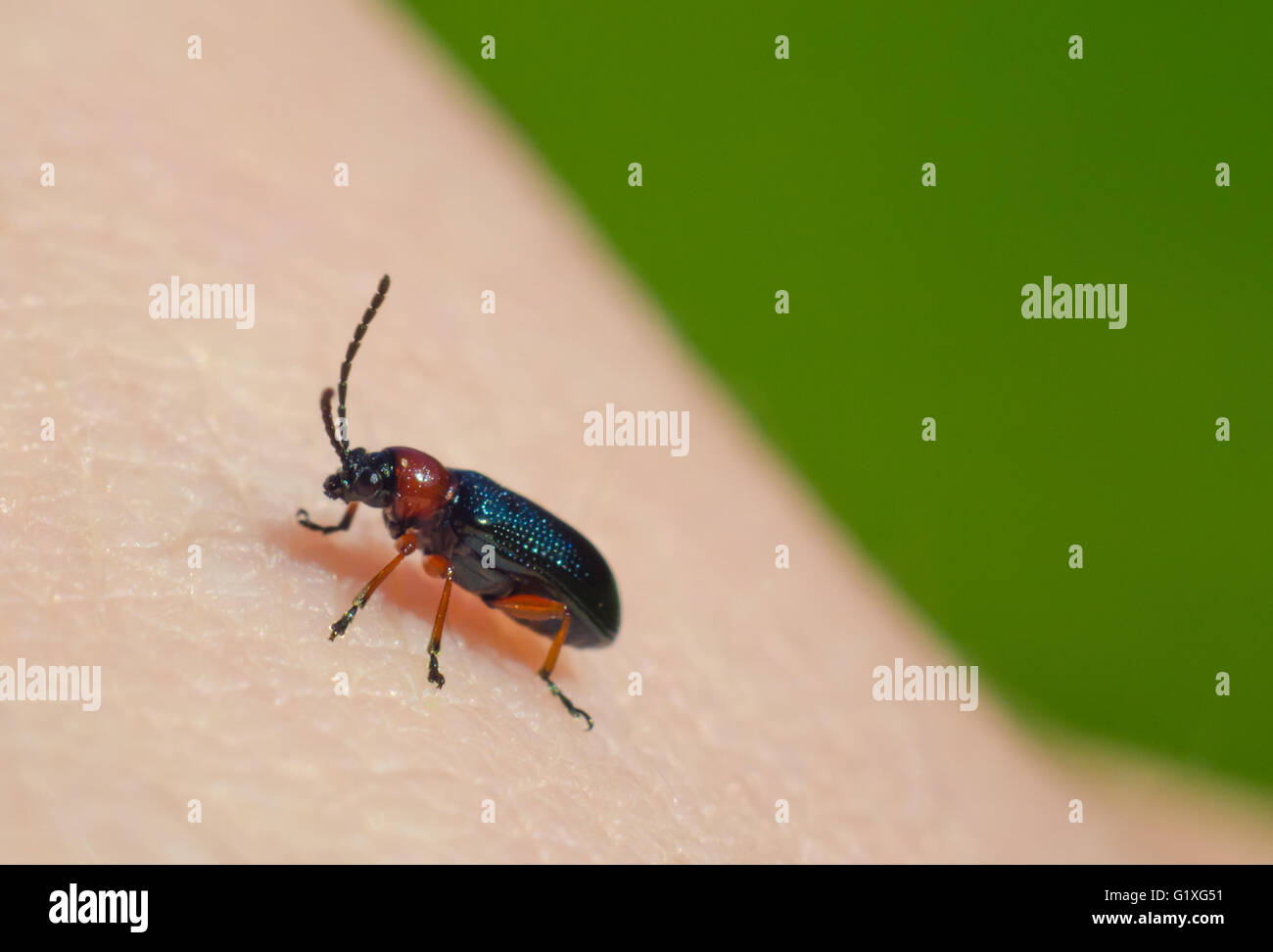 Red and black soft beetle on human skin - Stock Image
