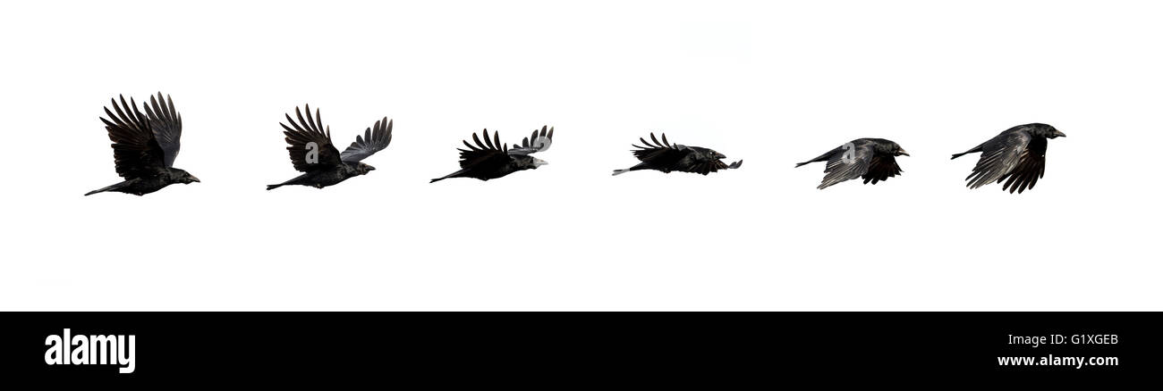 Flight sequence of a crow - Stock Image