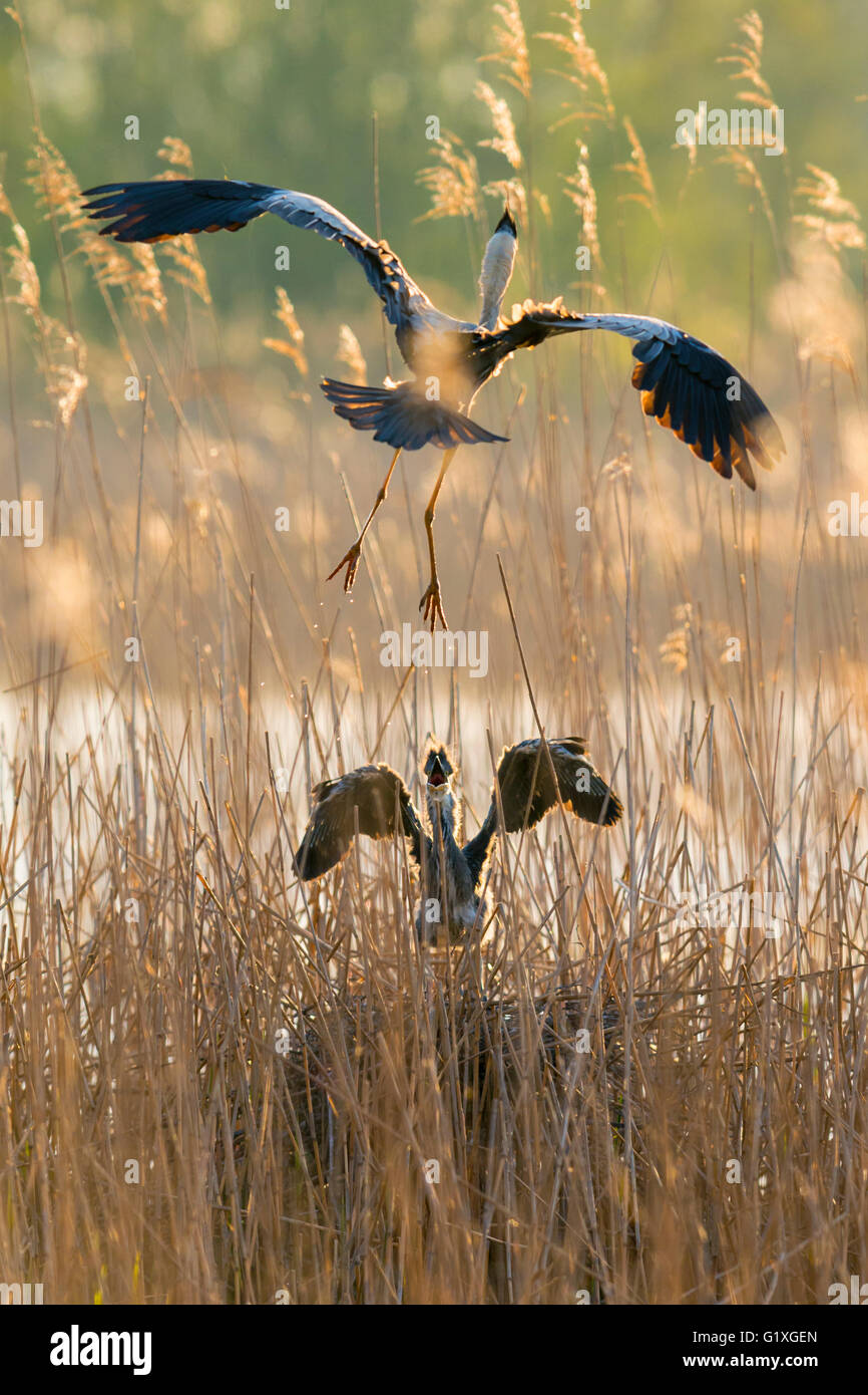 A Grey heron glides down to feed its demanding chick - Stock Image