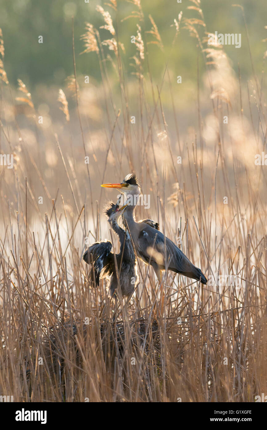 A Grey heron chick demanding food from its parent - Stock Image