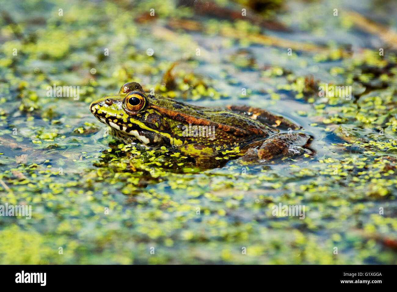 A marsh frog blending in with its surroundings Stock Photo