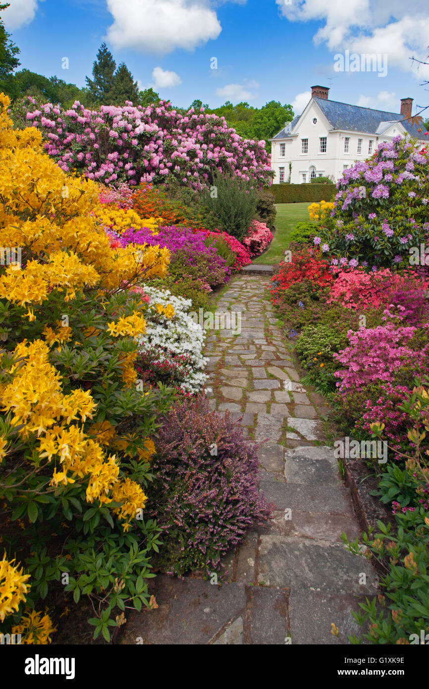 Azaleas and Rhododendrons Stody Lodge Gardens Norfolk May - Stock Image