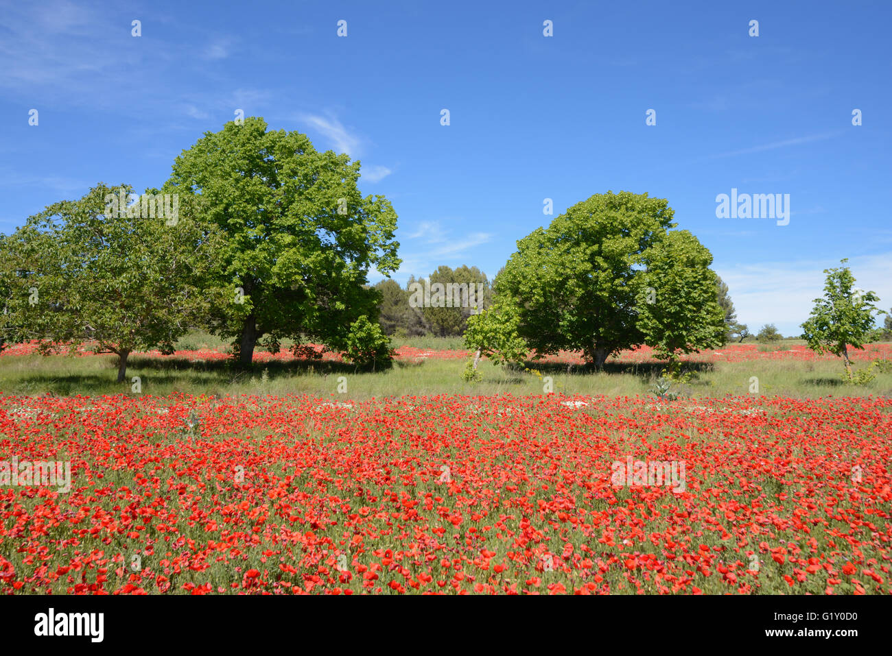 Provence, France. 20th May, 2016. Poppy Fields in Provence. Spring in Provence is brief but for a few weeks in May - Stock Image