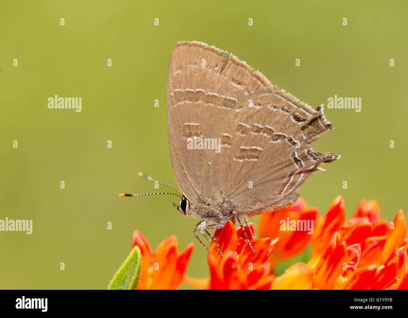 Satyrium caryaevorus, Hickory hairstreak butterfly feeding on an orange Butterflyweed - Stock Image