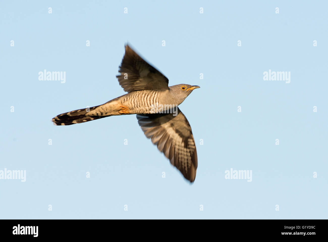 Common Cuckoo Cuculus canorus Titchwell RSPB Reserve May - Stock Image