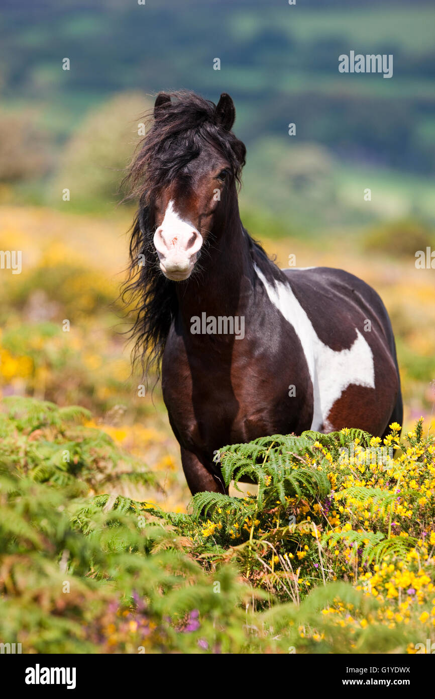 Dartmoor Hill Highland Pony, brown white spotted, stallion, blooming heather, moorland, Dartmoor National Park, - Stock Image