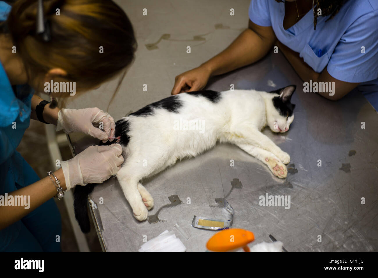 Surgery on a cat in a veterinary clinic.Windhoek. Namibia (Photo by Oleksandr Rupeta) - Stock Image