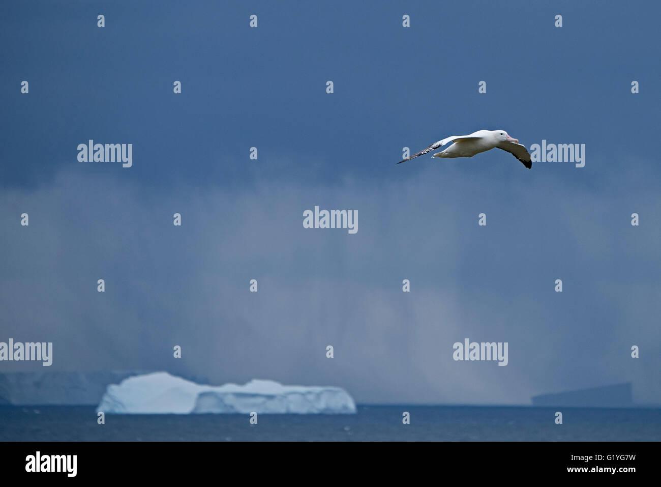Wandering Albatross Diomeda exulans at Trollheim South Georgia - Stock Image
