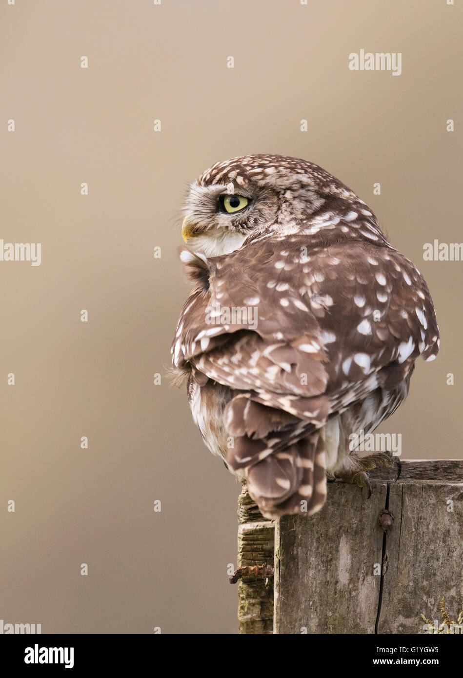 Wild adult Little Owl (Athene noctua) perched on wooden fence post - Stock Image
