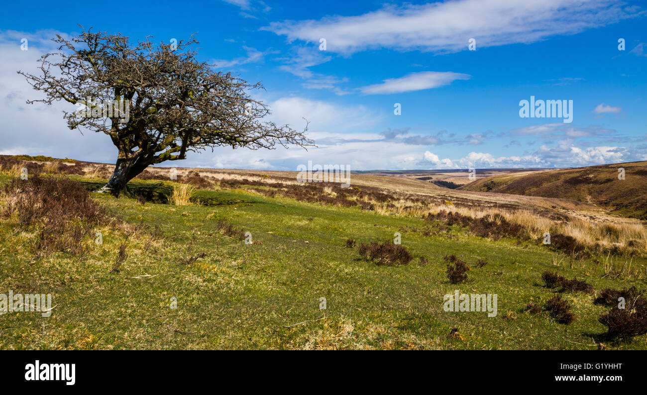 Single hawthorn tree on moorland near Simonsbath, Exmoor, UK. - Stock Image