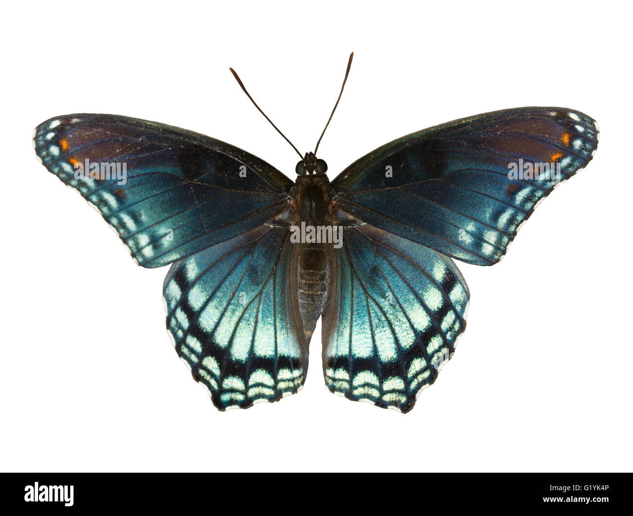 Red Spotted Purple Admiral, Limenitis arthemis astyanax, beautiful blue butterfly isolated on white - Stock Image