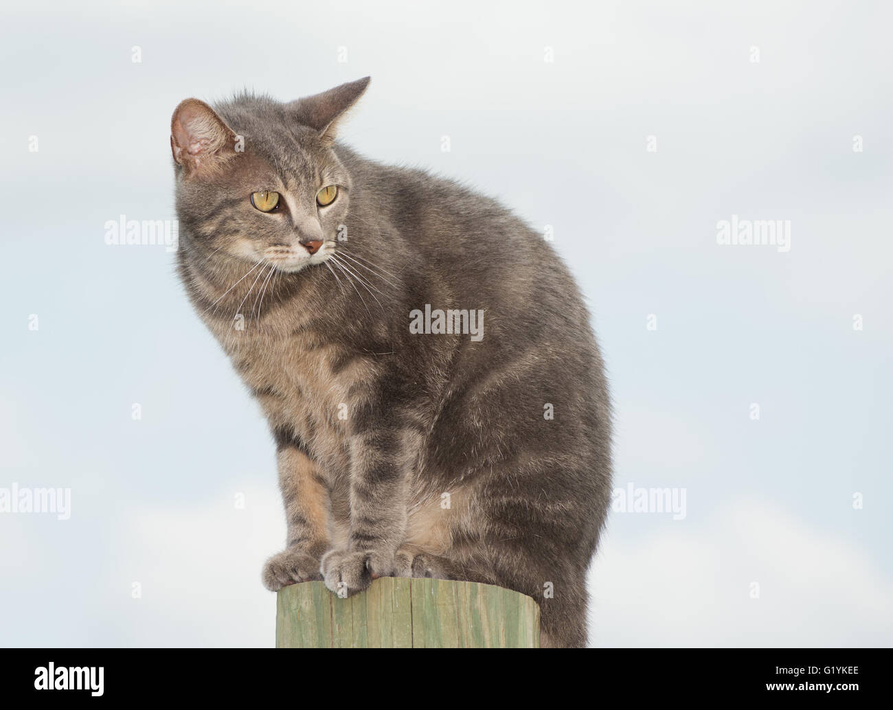 Unhappy blue tabby cat looking worried, sitting on top of a high post against cloudy sky - Stock Image