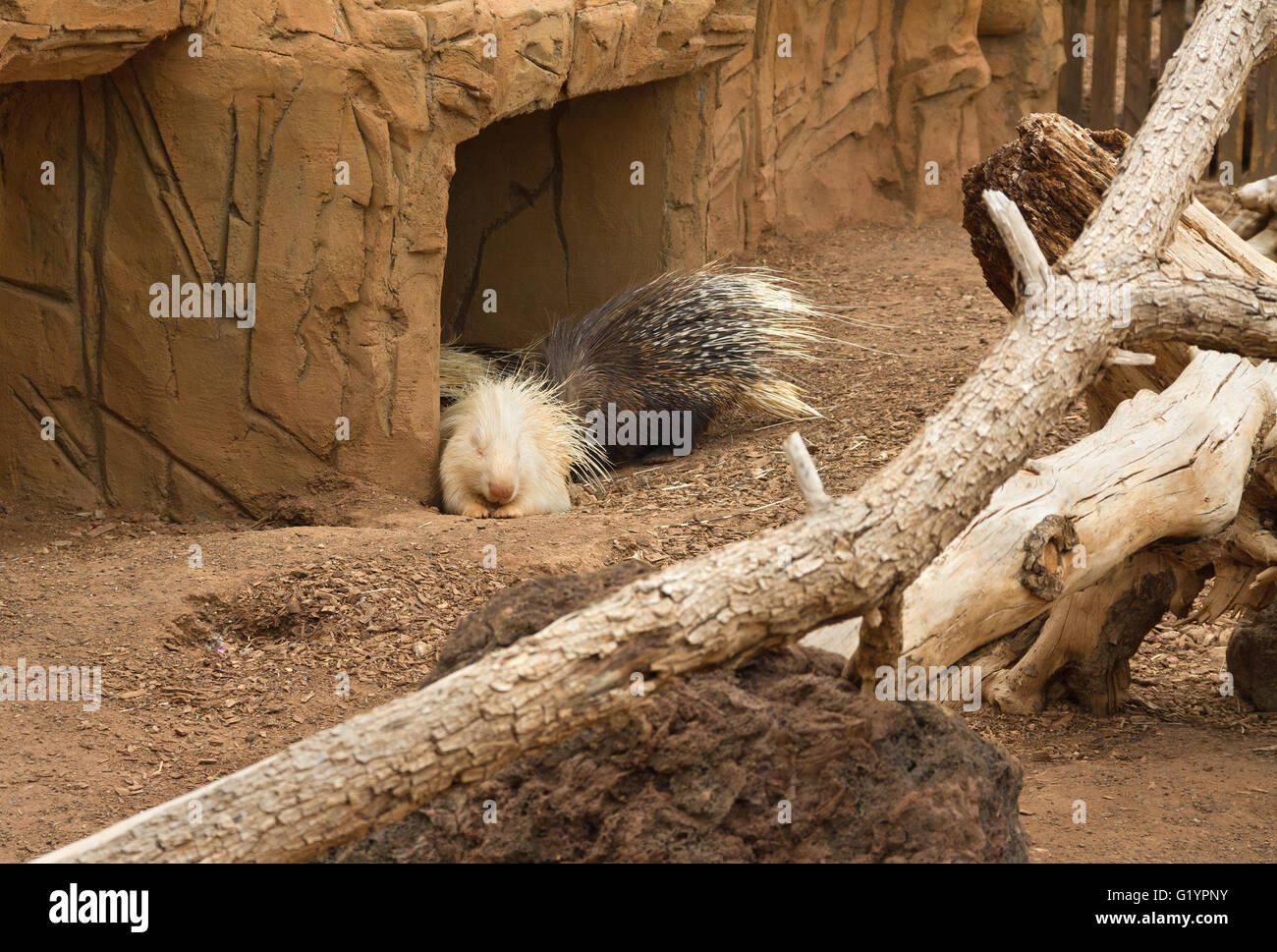 Life of porcupines in a captuvity. - Stock Image