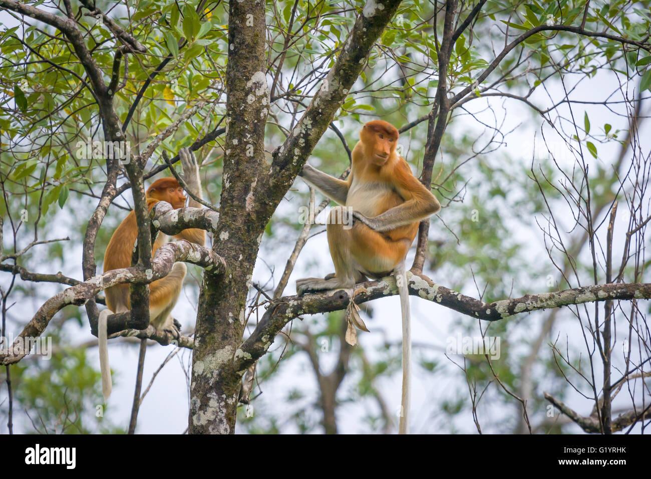 Proboscis Monkey. - Stock Image