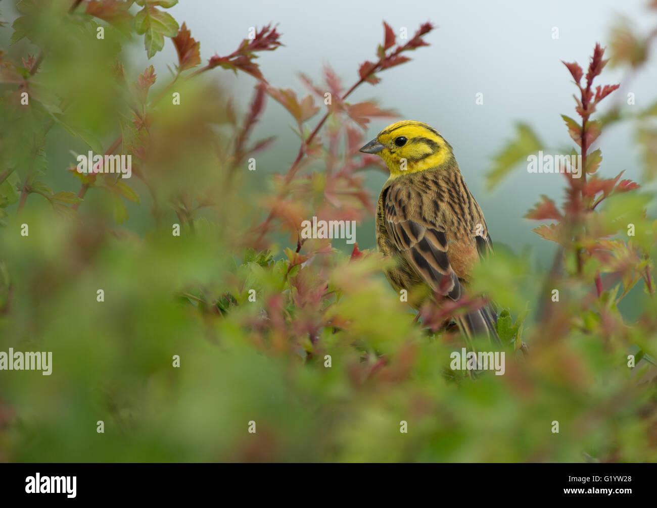 Male Yellowhammer-Emberiza citrinella. Spring. Uk - Stock Image