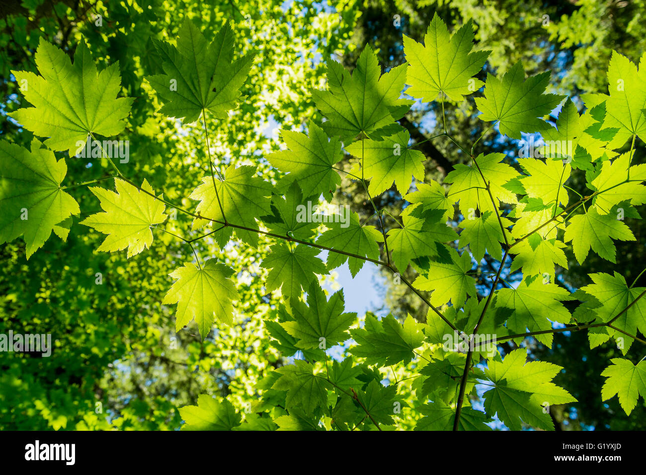 Maple tree green leaves - Stock Image