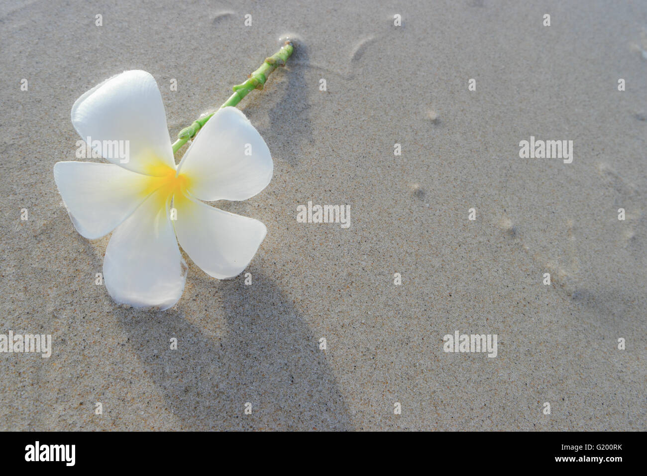 White frangipani on the surface of the sand. Stock Photo