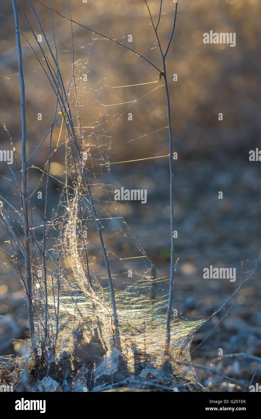 Back-lit Spider web, Rio Grande bosque at Albuquerque, New Mexico, USA. - Stock Image