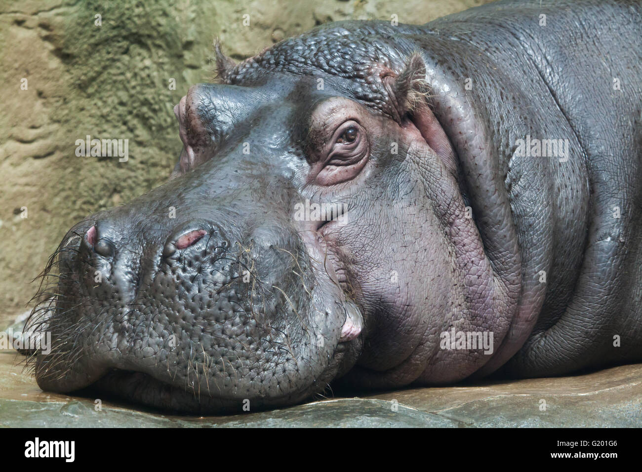 Hippopotamus (Hippopotamus amphibius) at Prague Zoo, Czech Republic. - Stock Image