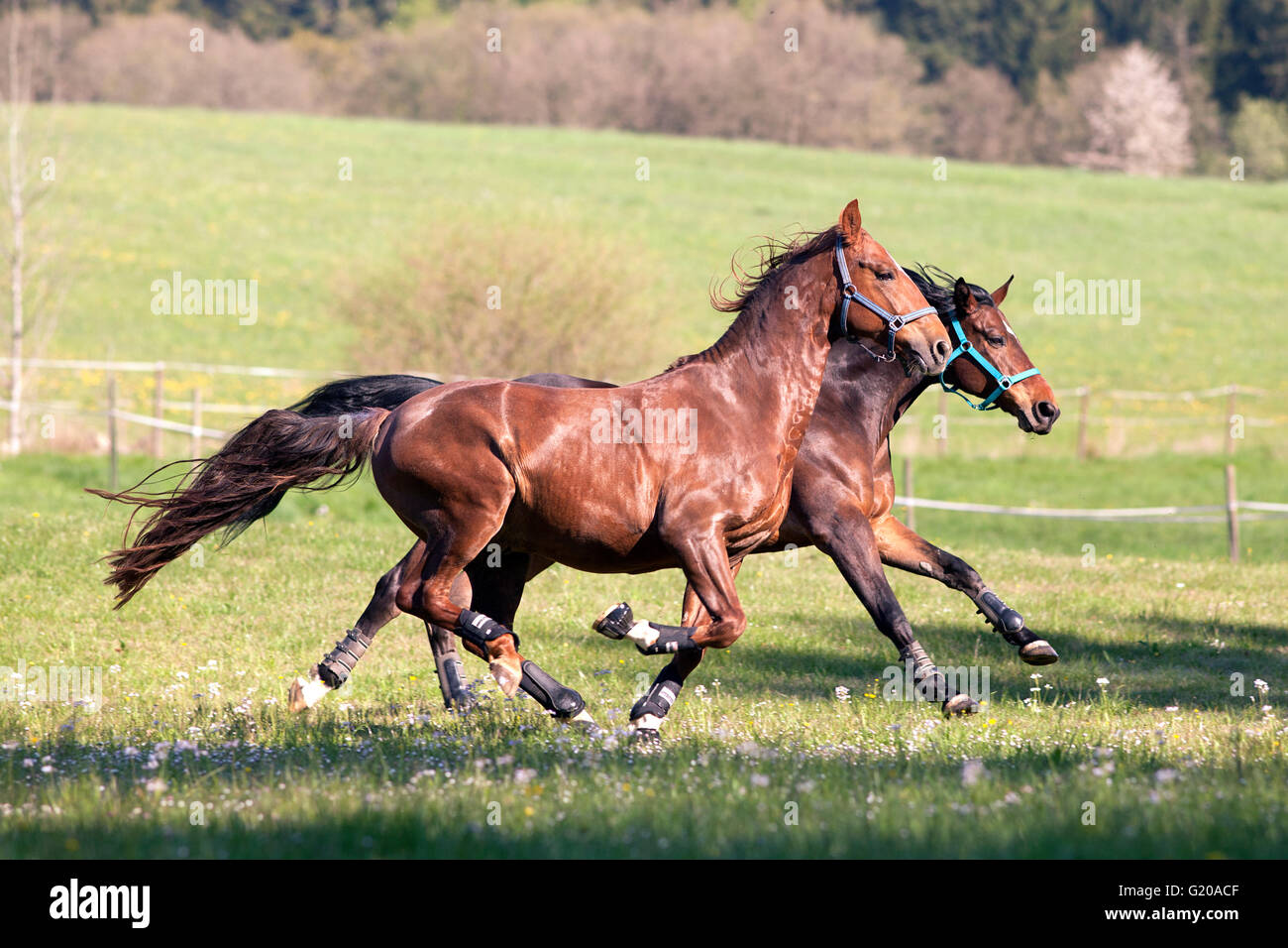 Horses gallop free outside on meadow - Stock Image