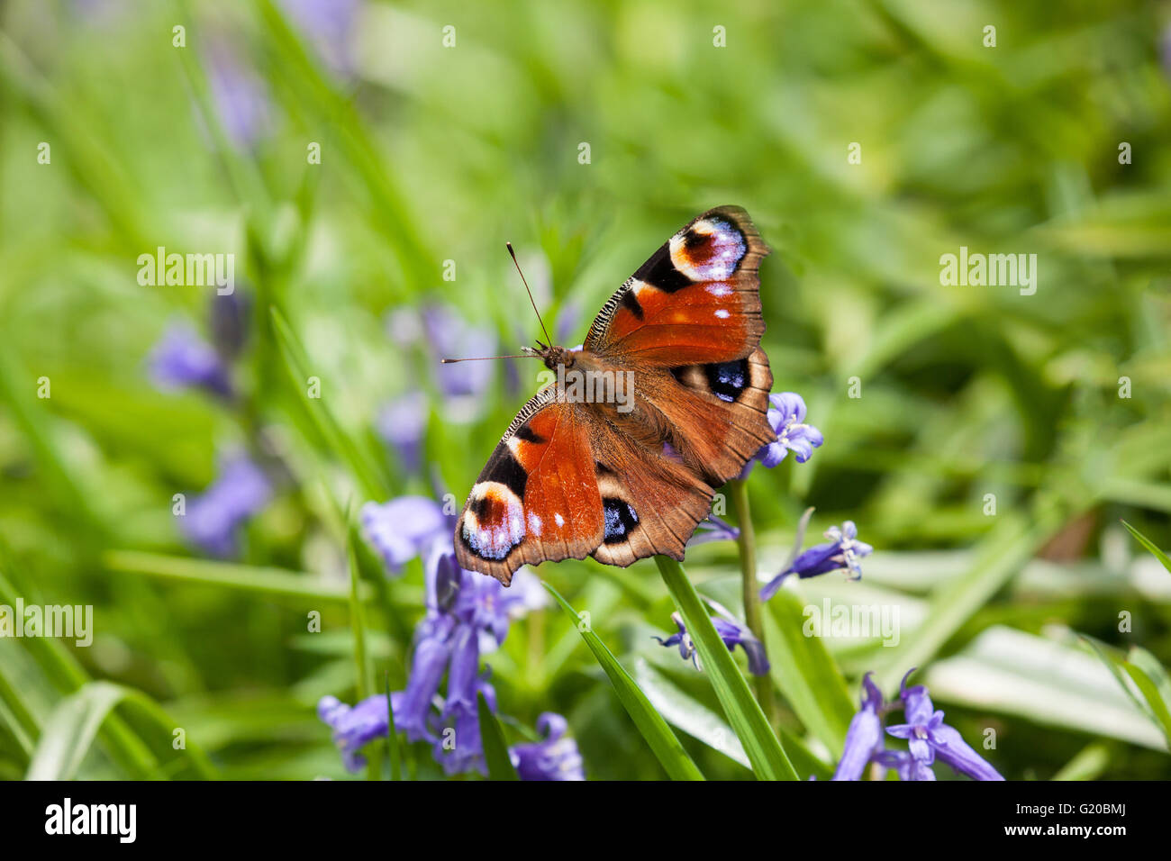 Peacock butterfly Aglais io on bluebell flowers in springtime in the English countryside - Stock Image